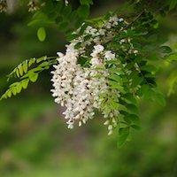 アカシアの花の写真