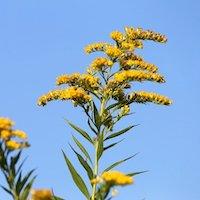 アワダチソウの花の写真