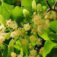 シナノキの花の写真
