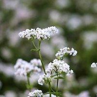 ソバの花の写真